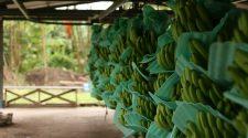 Seit 2014 gibt es das Bananen-Projekt zwischen dem WWF und EDEKA. © Denis Ünver / WWF