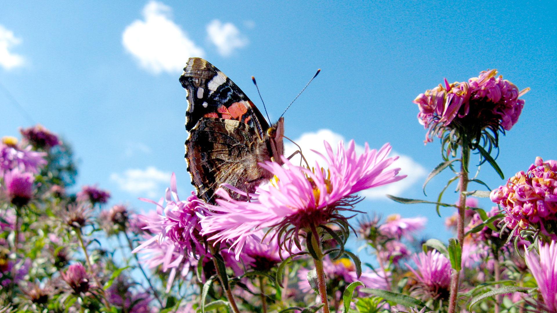 Schmetterlinge füttern? Eine Falter-Tankstelle für in den Süden ziehende Schmetterlingsarten hilft!