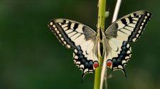 Unsere Schmetterlinge verschwinden. Woran liegt das und was kann jeder selbst tun?