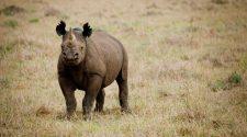Das südwestliche Spitzmaulnashorn wurde auf der Roten Liste auf gering gefährdet herabgestuft. © Greg Armfield / WWF