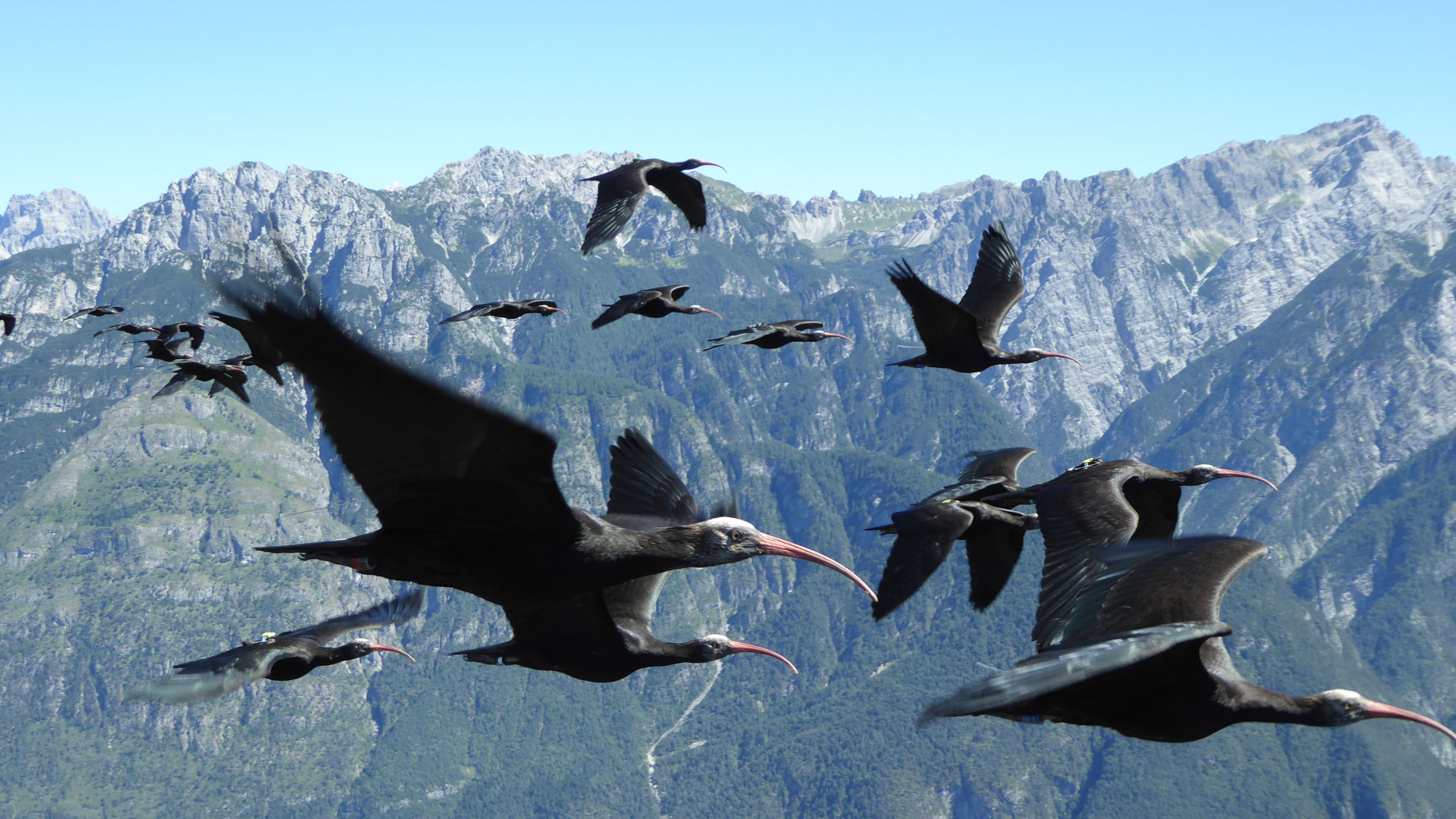 Inzwischen gibt es schon ungefähr 100 Waldrappe, die selbstständig über die Alpen ziehen. © Waldrappteam / LIFE Northern Bald Ibis
