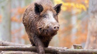 Schweinepest: Wildschwein