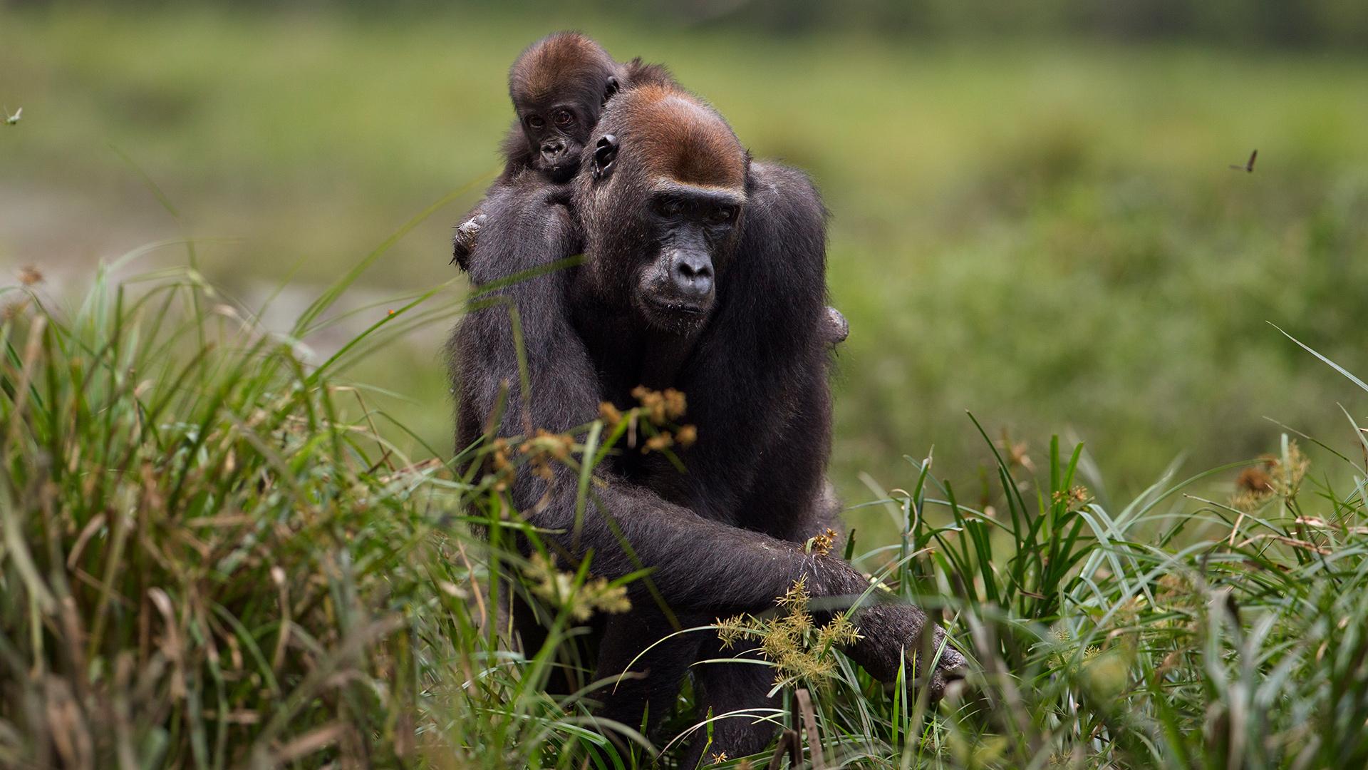 Derzeit ist noch nicht klar, ob sich Menschenaffen auch mit dem Coronavirus infizieren können. © Fiona Rogers Naturepl / WWF