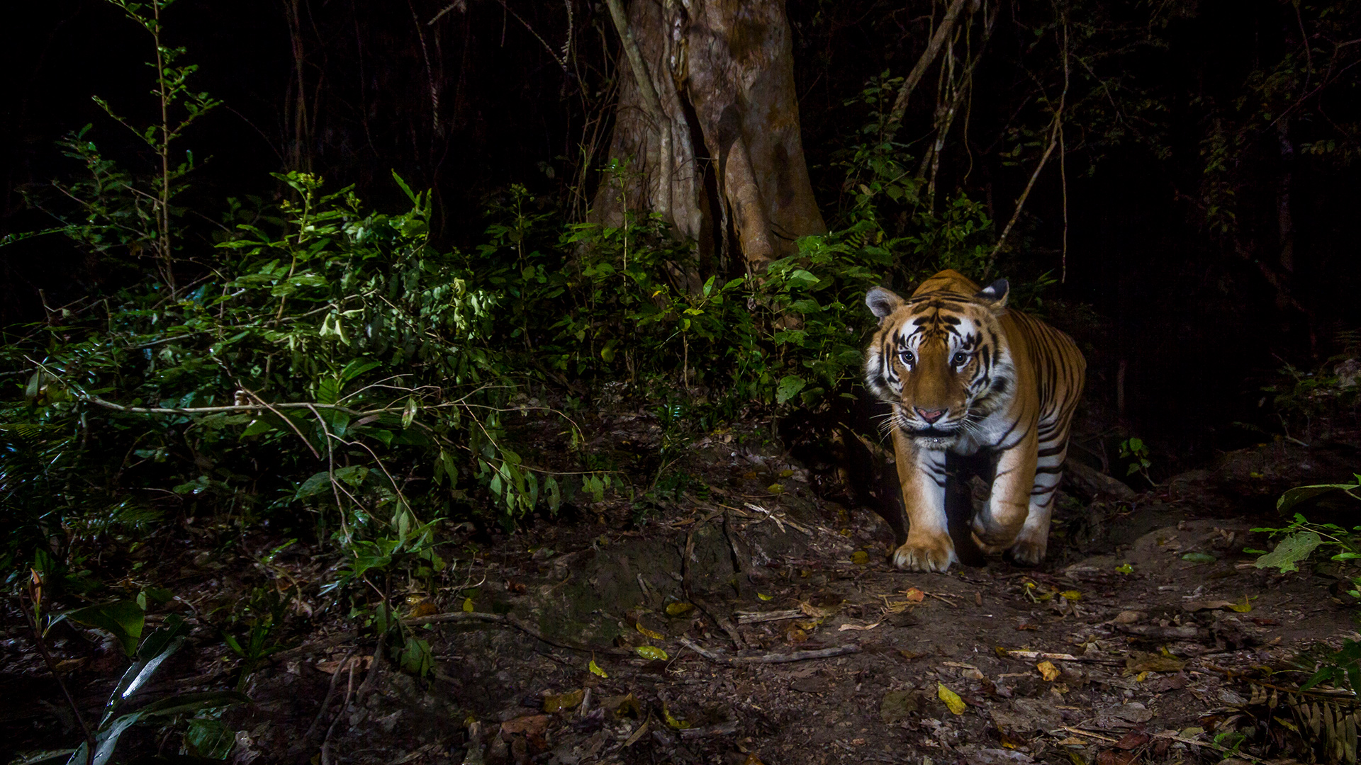 Tiger im Khata Korridor, Nepal
