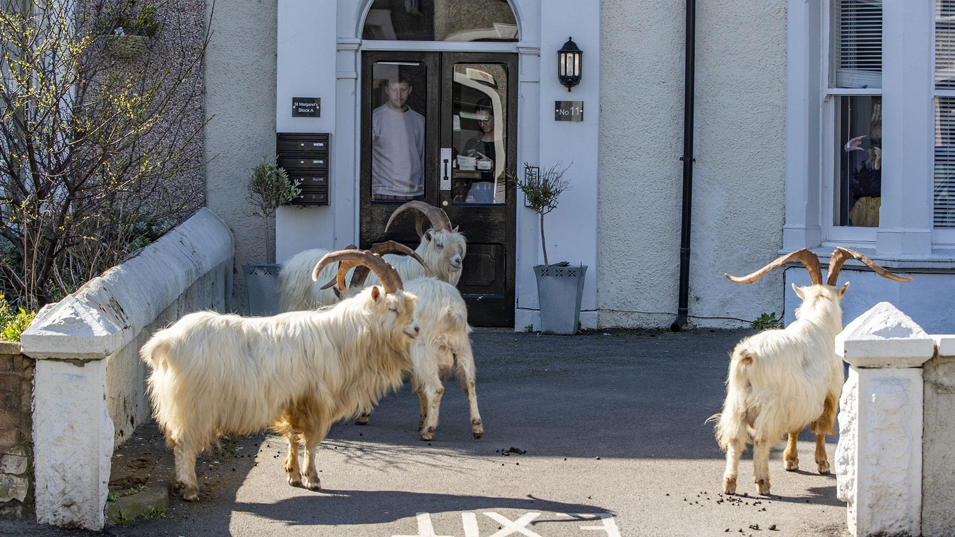 Tiere Corona: Zige in Wales vor dem Schaufenster