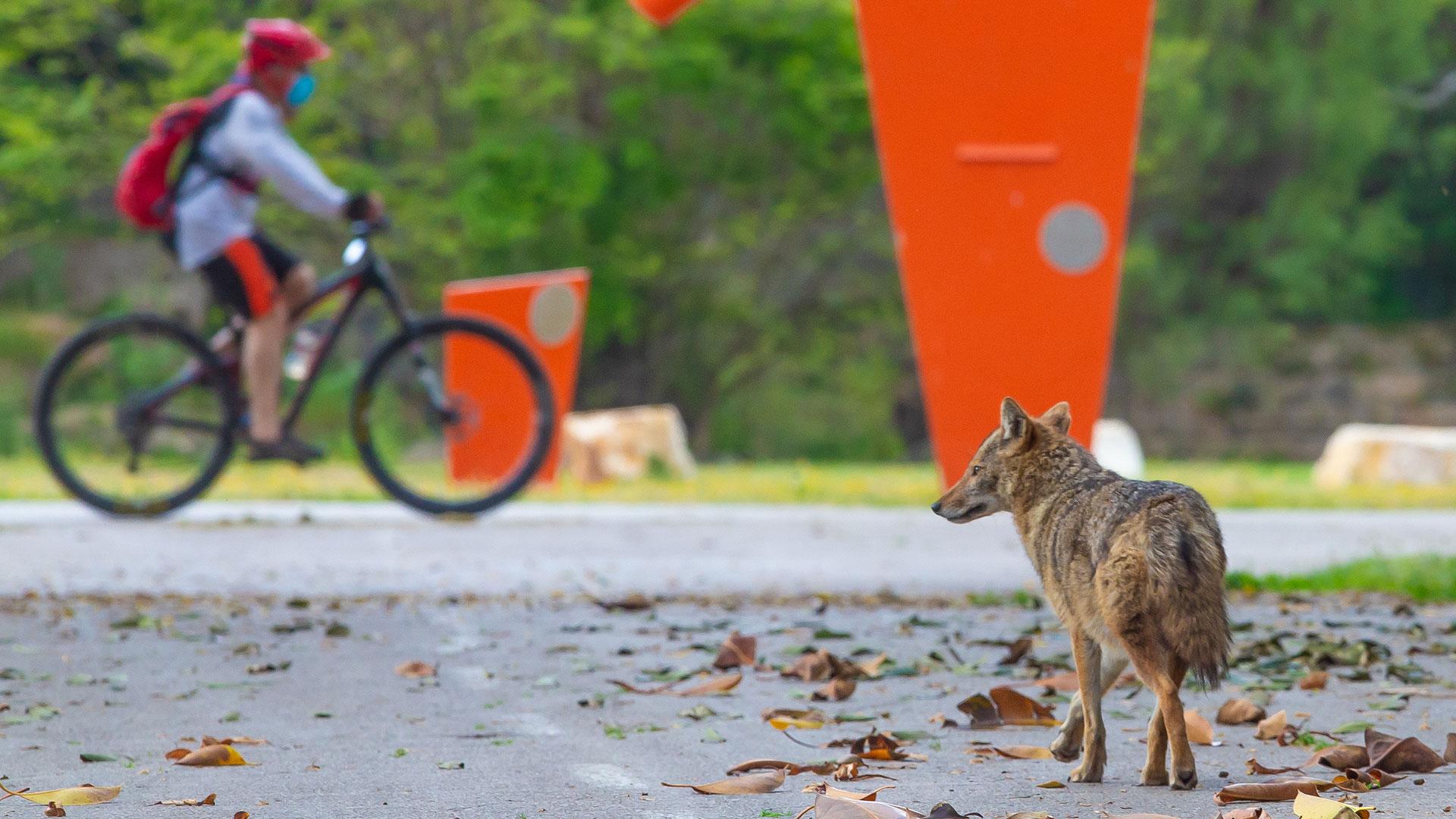 Tiere Corona: Schakal in Tel Aviv