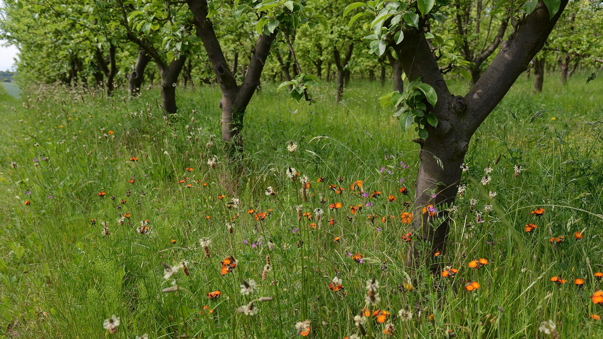 Landwirtschaft für Artenvielfalt: Obstbäume mit Blumen