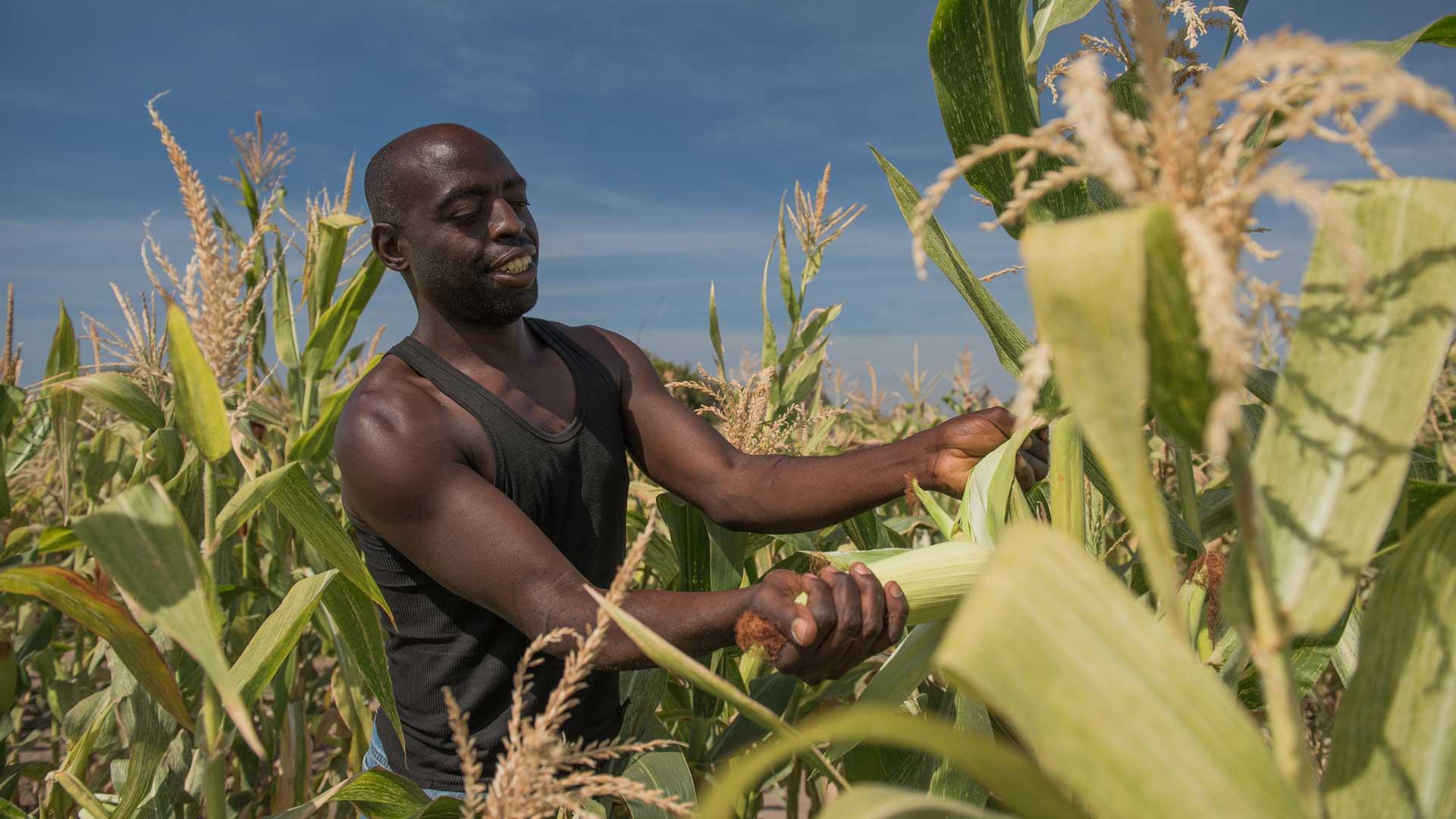 Corona Landwirtschaft: Maisernte in Sambia
