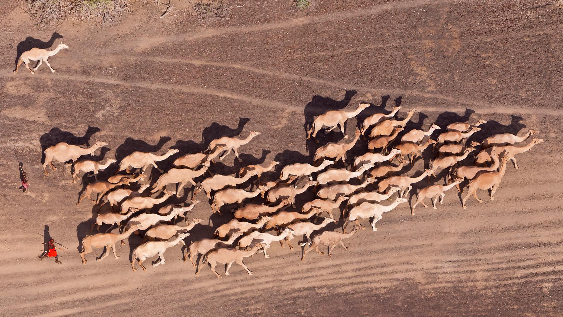 Coronaviren sind für die MERS-Erkrankung von Kamelen verantwortlich. © Martin Harvey / WWF