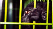 Ein seltener Schopfmakake auf einem Tiermarkt © Rob Webster / WWF