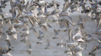 Im Frühjahr und Herbst machen viele Zugvögel in Deutschland Rast. Wichtiger Stopp ist das Wattenmeer.