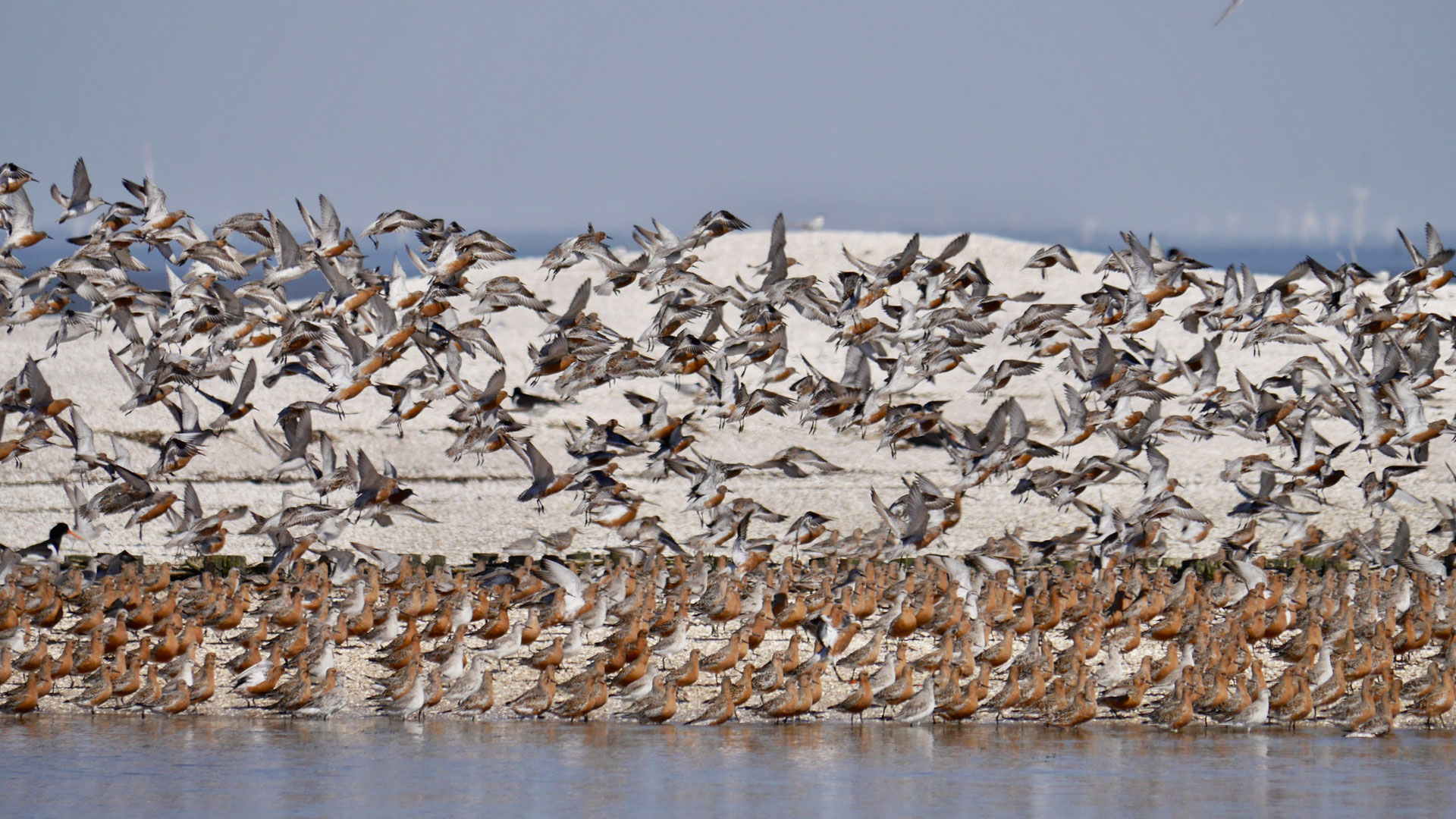 Im Frühjahr und Herbst machen viele Zugvögel in Deutschland Station. Das Wattenmeer ist wichtiger Rastplatz.