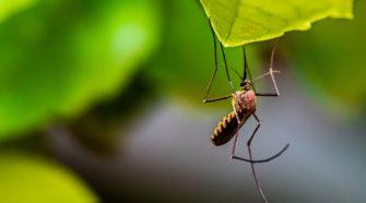 Gewinner der Klimakrise: Stechmücke