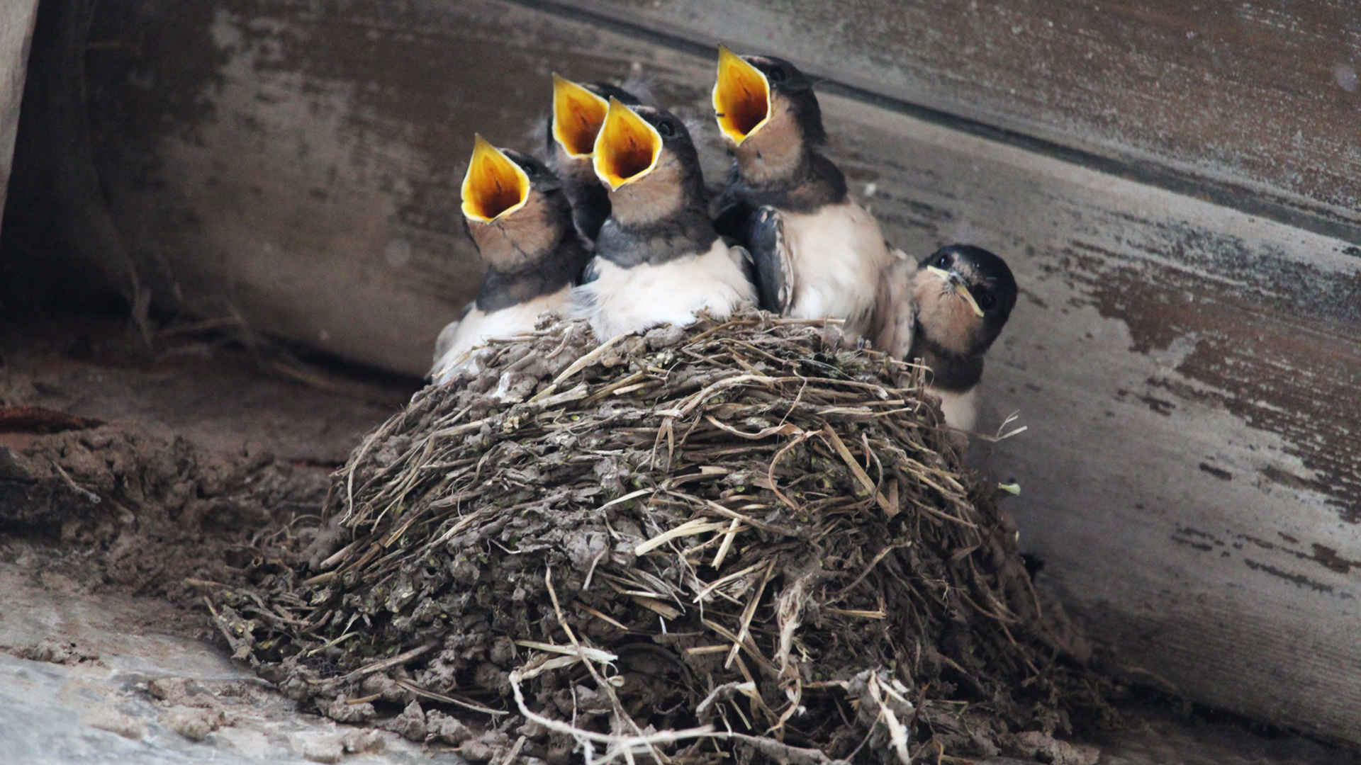 Vögel retten: Schwalben im Nest