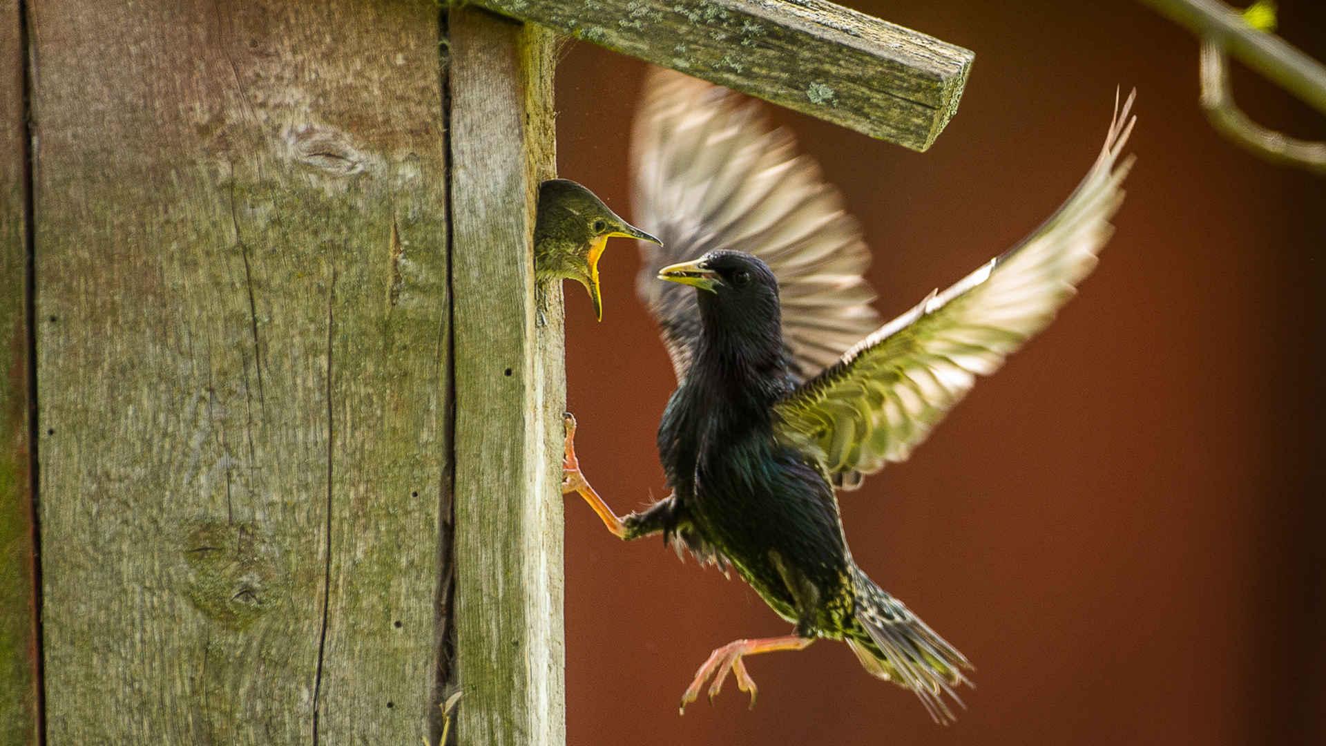 Vögel retten: Stare am Nistkasten