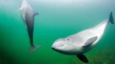 Nordsee Schutz: Schweinswale