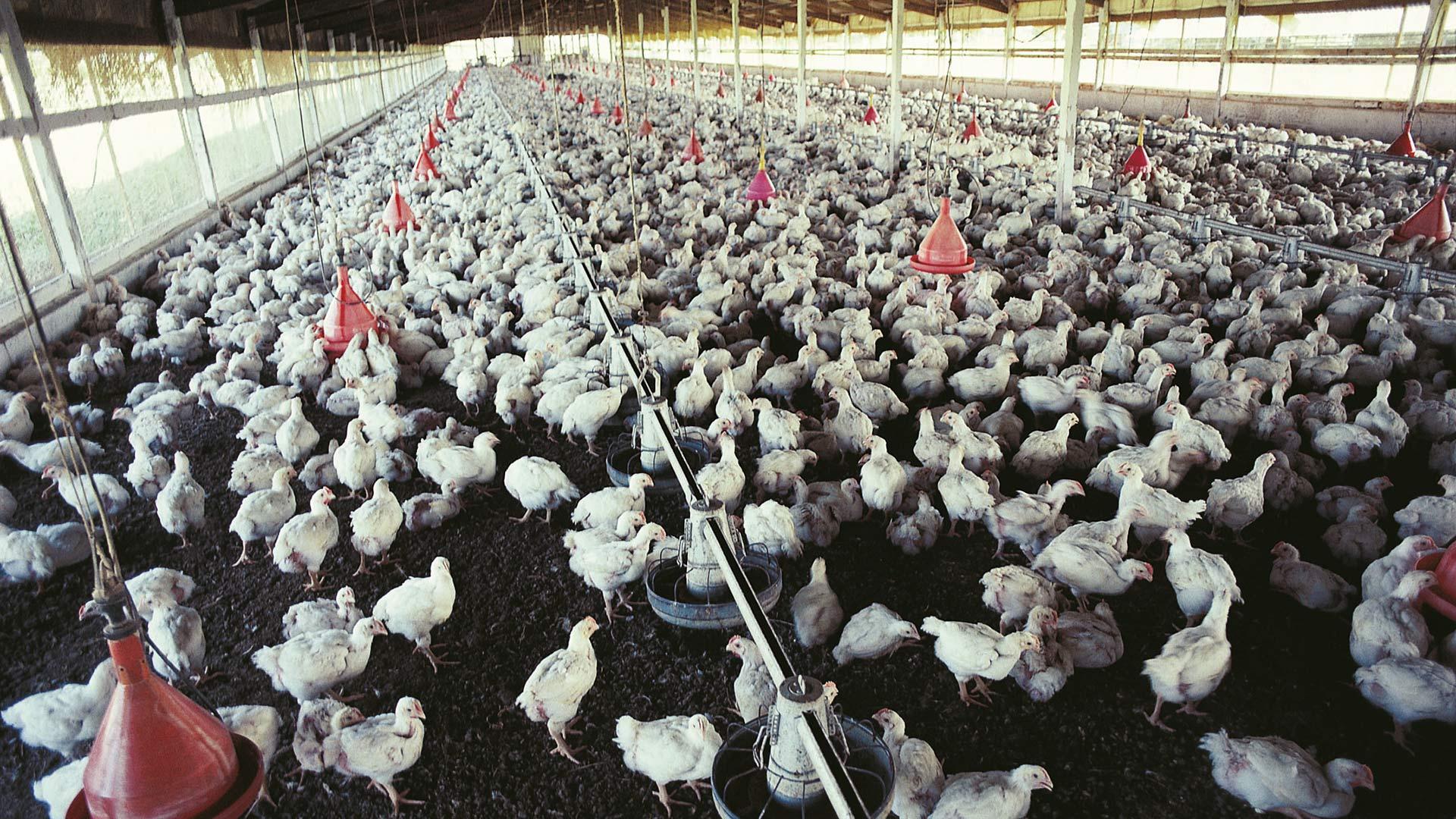 landwirtschaft Massentierhaltung