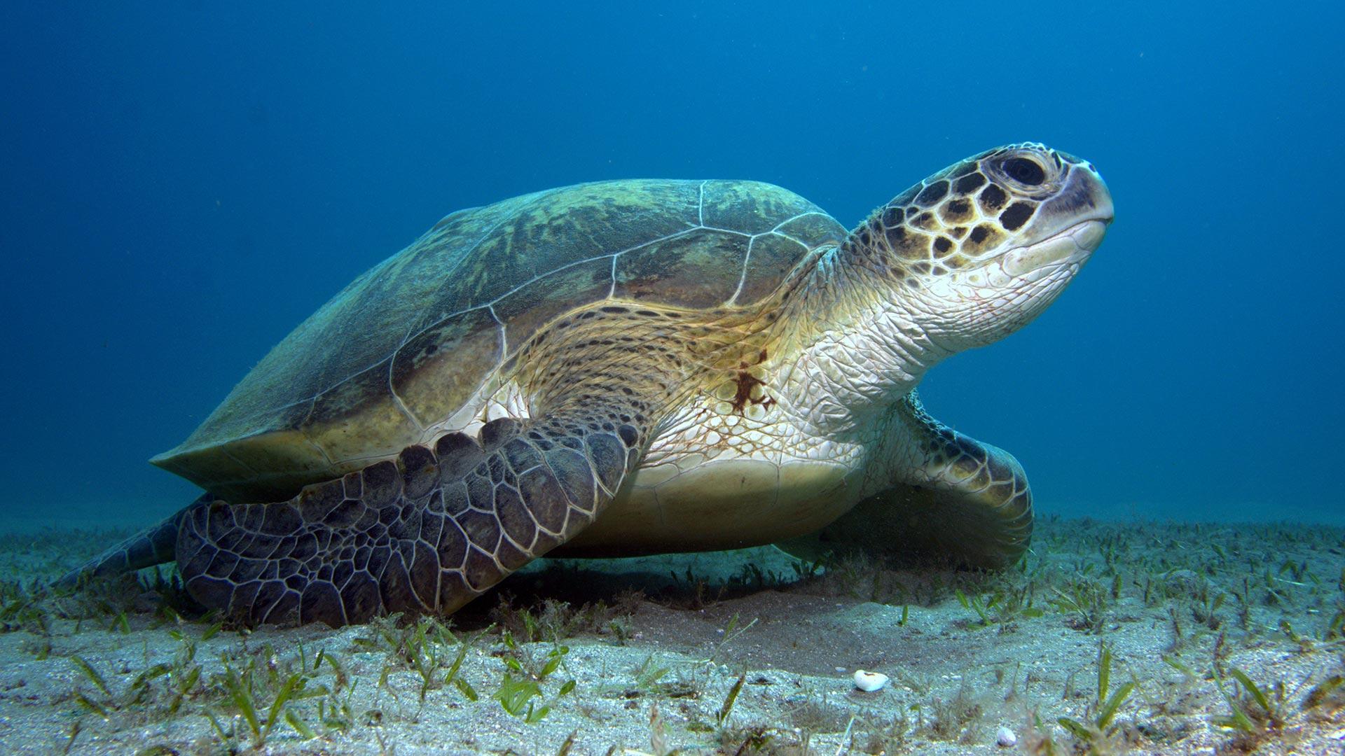Meeresschildkröten: Faszinierende Fakten und erstaunliches Wissen rund um die ältesten Reptilien der Welt