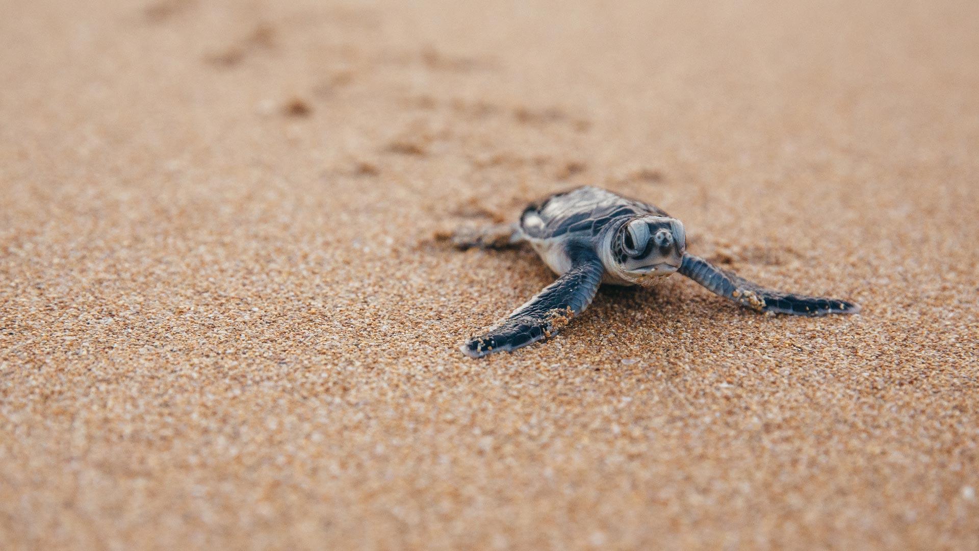 Wie verbringen Meeresschildkröten (Cheloniidae) ihre Kindheit? Das ist noch nicht erforscht.