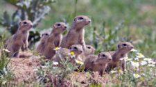 Biodiversität in Europa: Eine Gruppe von Zieseln