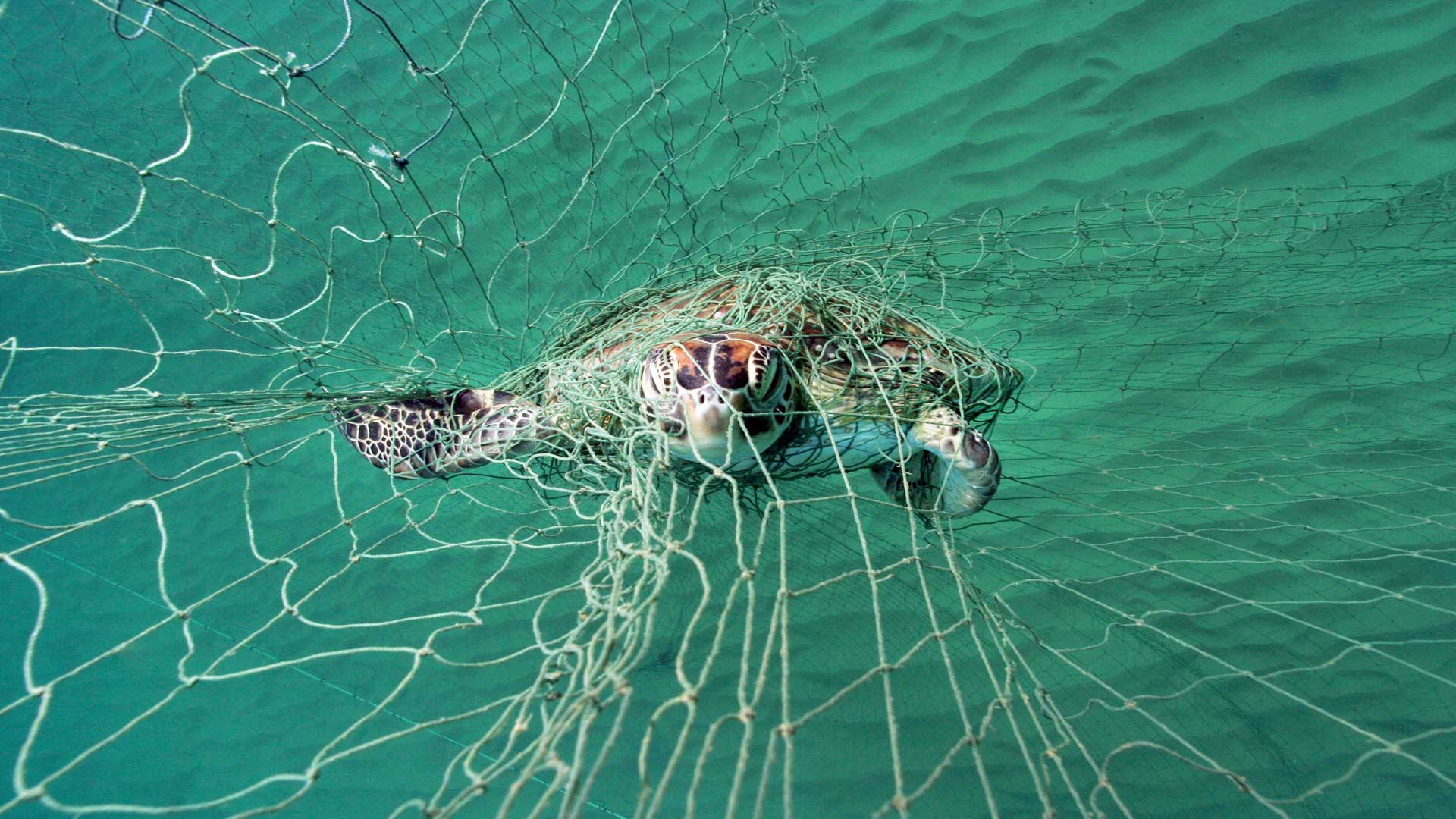 Meeresschildkröten im Netz: Sie sind durch Fischerei bedroht