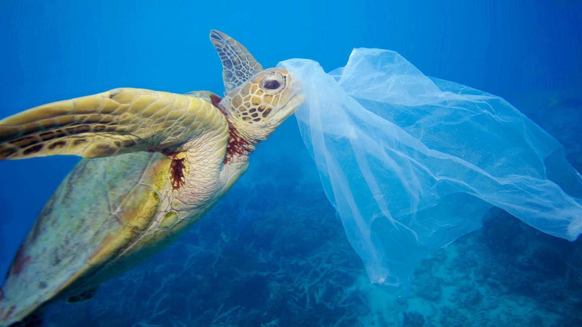 Meeresschildkröte (Cheloniidae) mit Plastiktüte