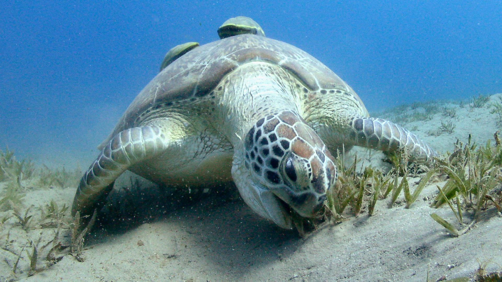 Schildkröten sind wichtig für das Meer. Sie halten das Ökosystem gesund. Hier: Chelonia mydas.