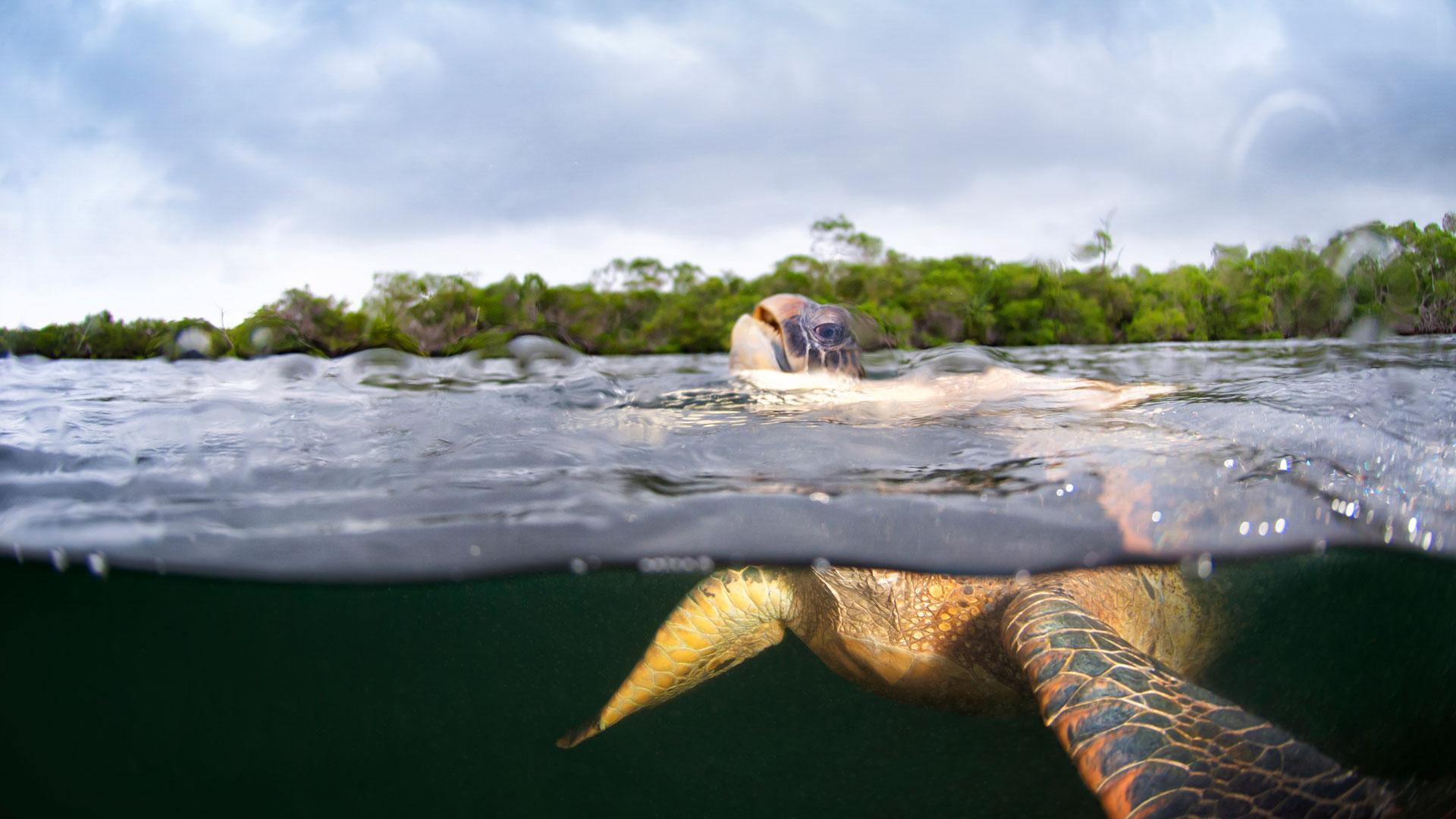 Meerschildkröte taucht auf. Wie atmen und schlafen Meeresschildkröten? 15 Fakten über die Schildkröten!