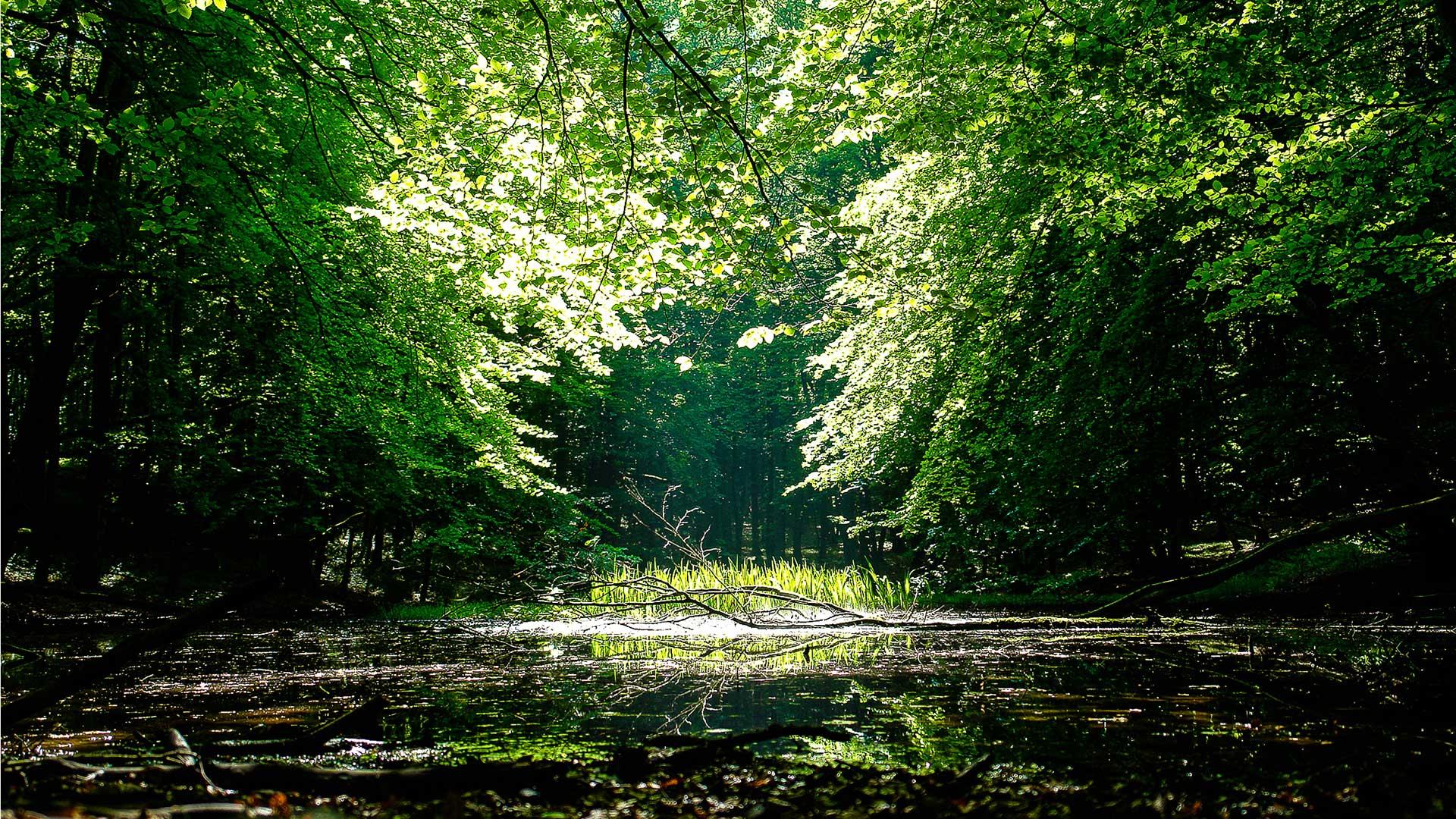 Buchenwälder in Deutschland: Lichtung
