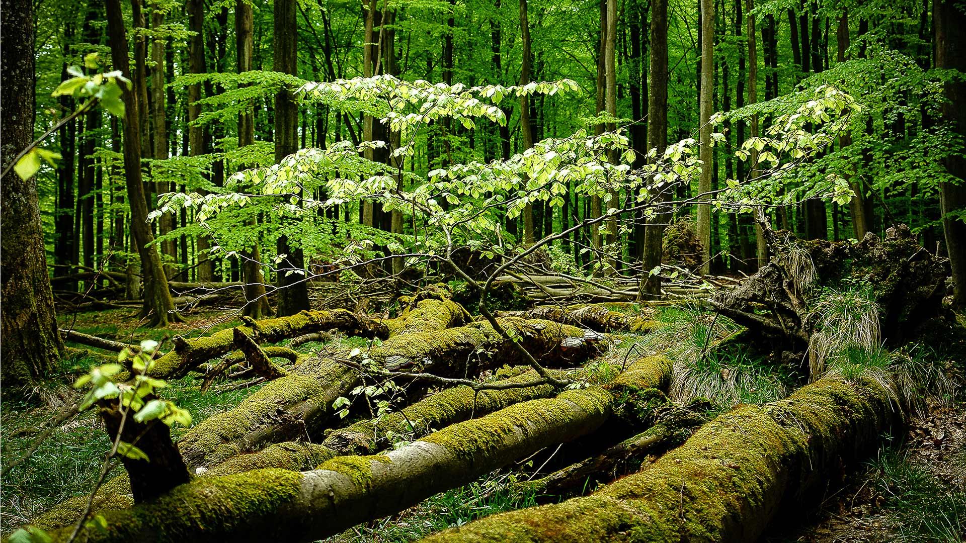 Buchenwälder Totholz