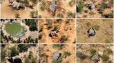 Elefantensterben in Botswana