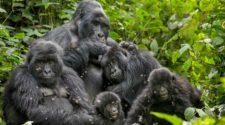 Gorillas Familie im Kongo