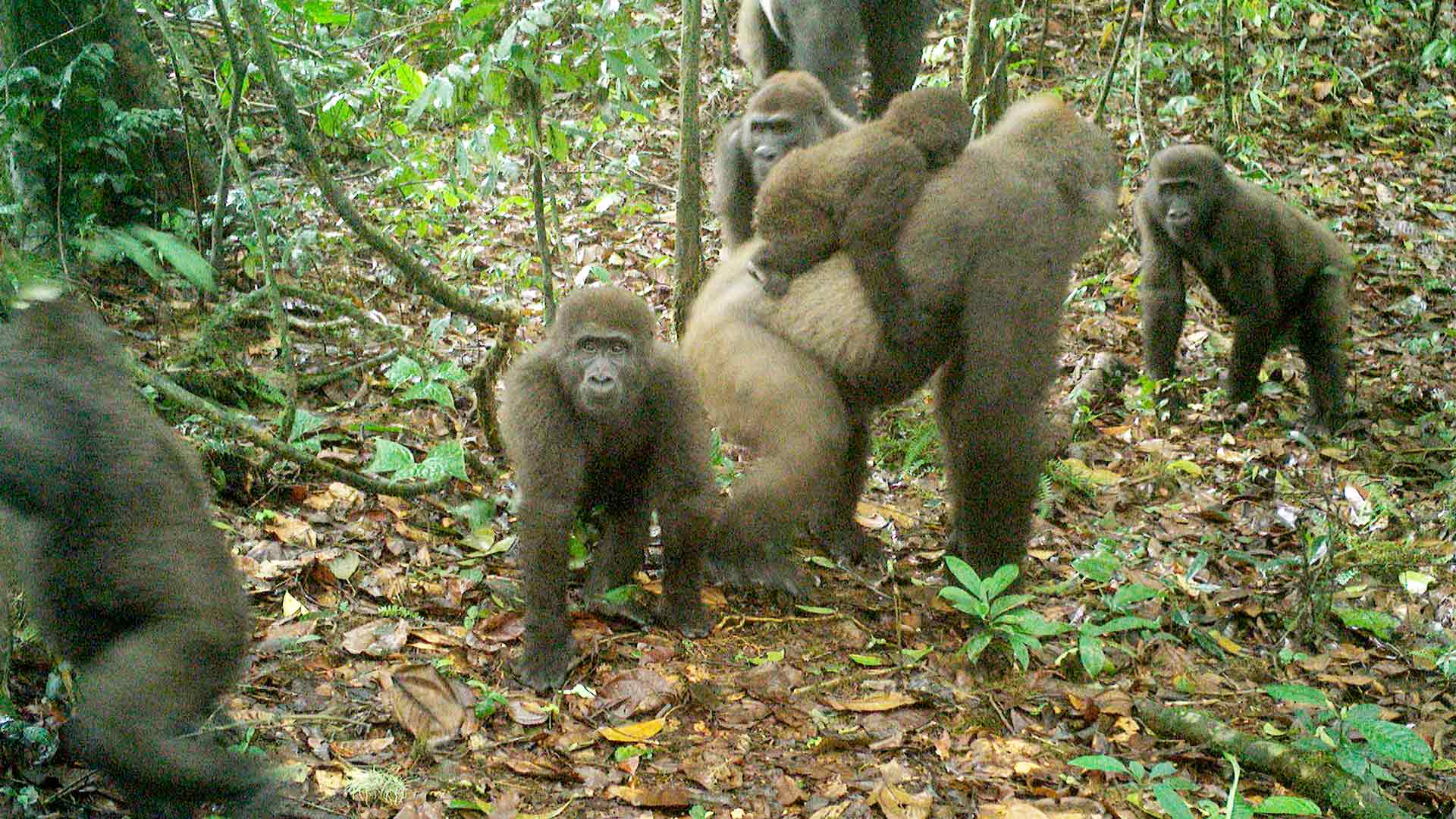 Cross River Gorilla Familie