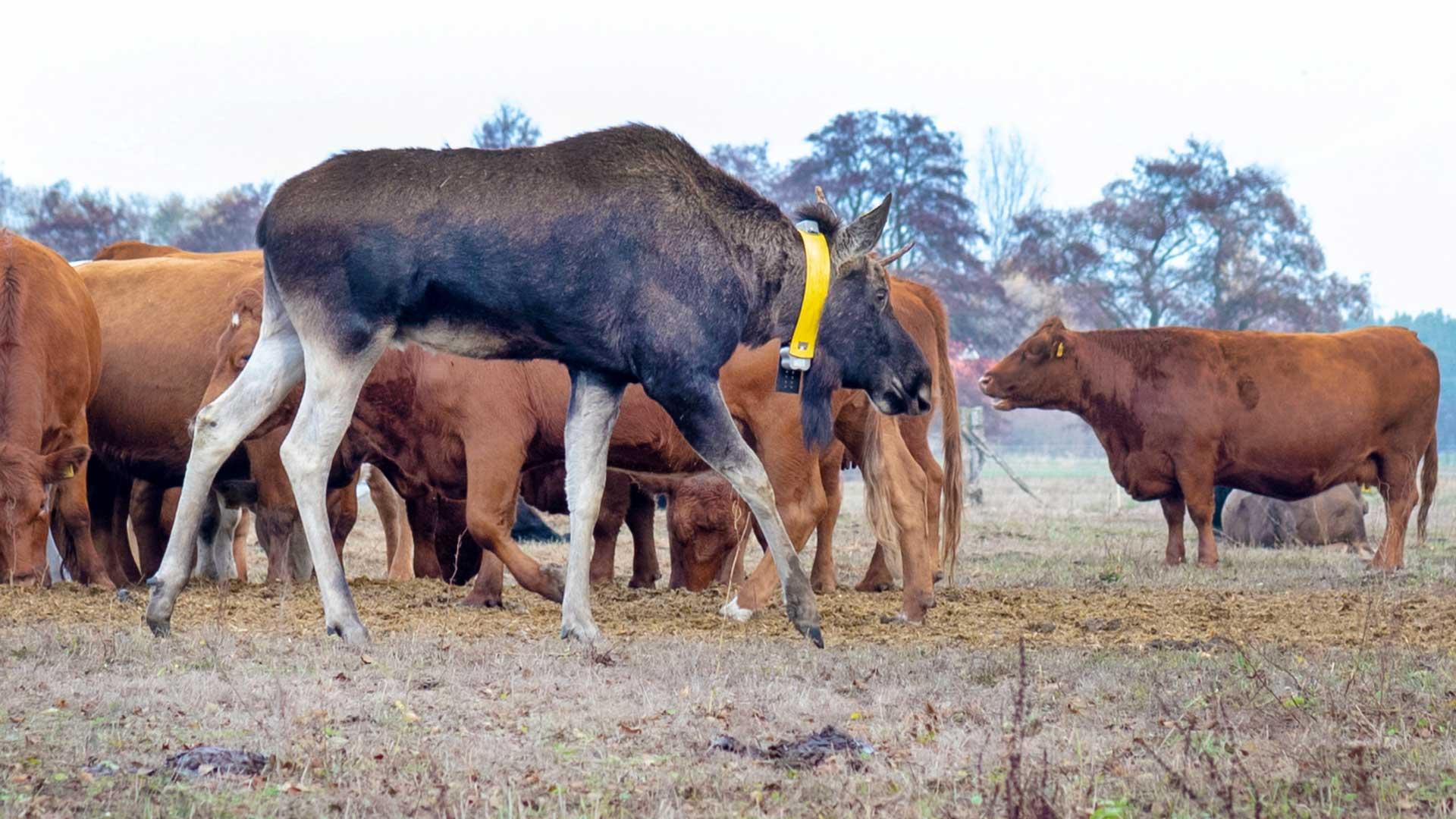 Elch Bert und seine Kühe