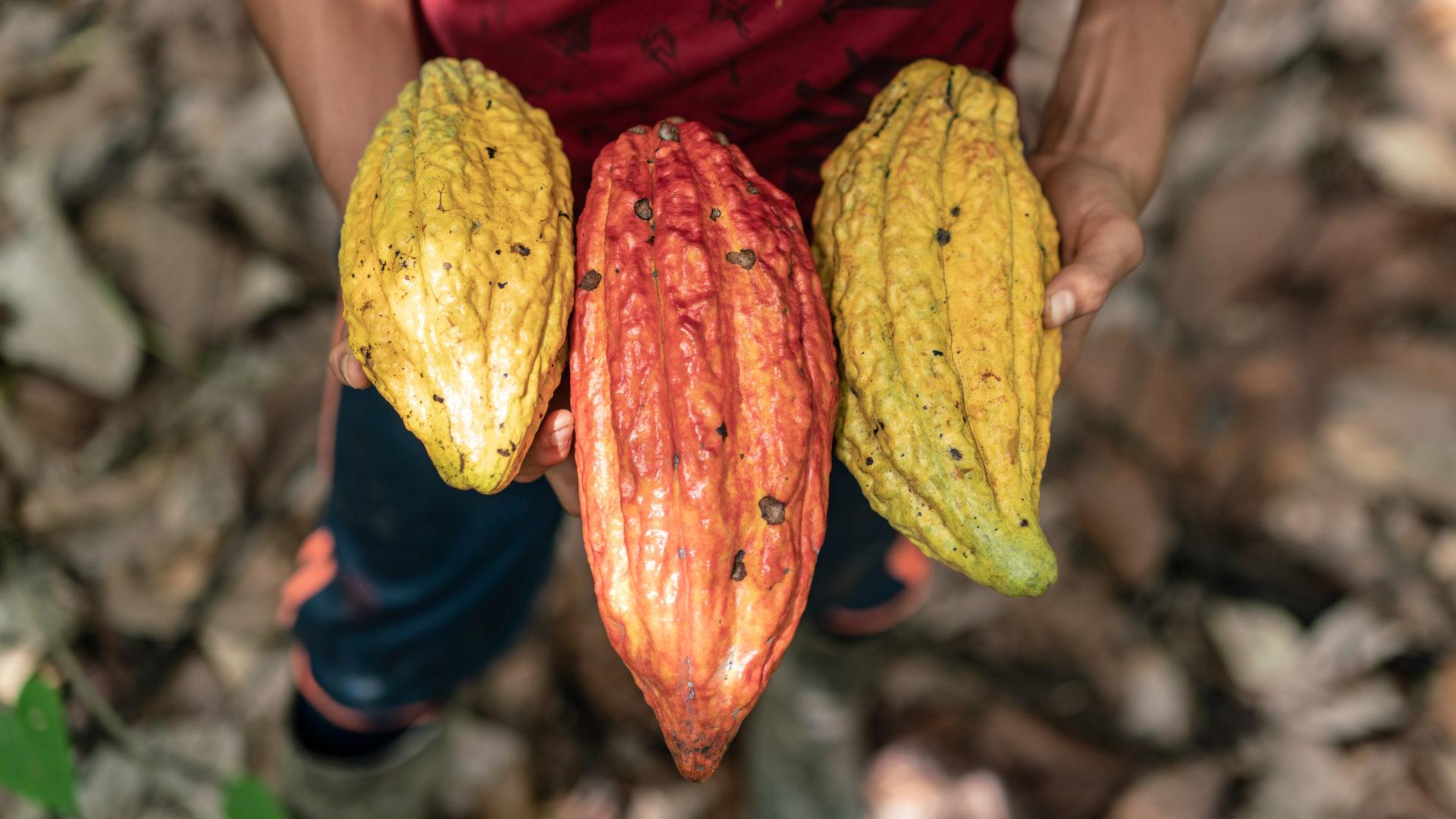 Schokolade und Umwelt: Kakaoschoten