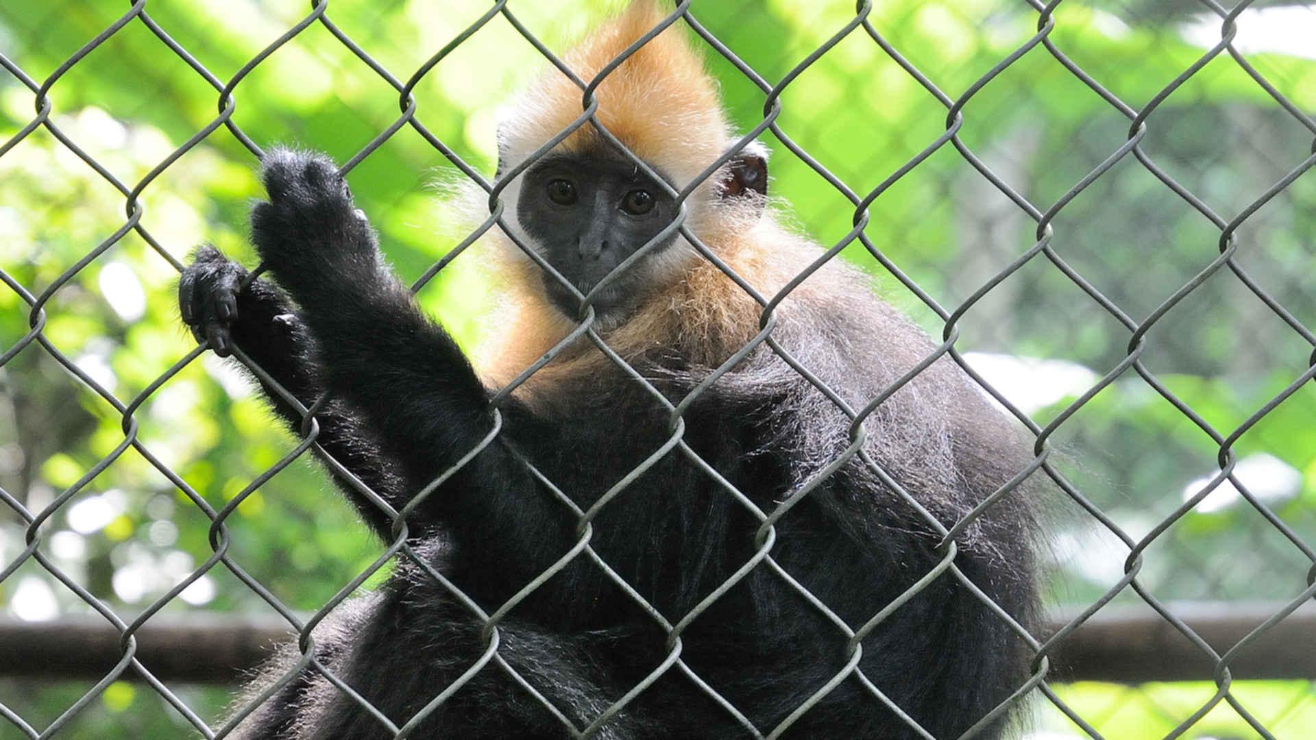 Illegaler Wildtierhandel Vietnam: Langur im Käfig