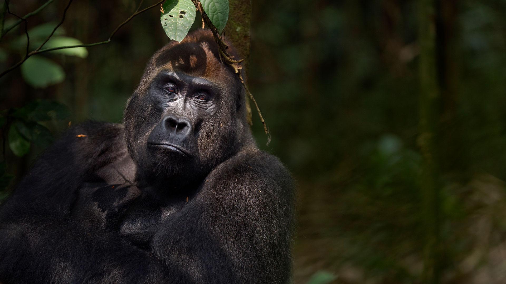 Westlicher Flachland Gorilla
