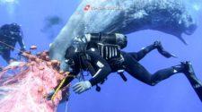 Pottwale im Mittelmeer: Taucher versuchen den Wal aus den Netzen zu befreien