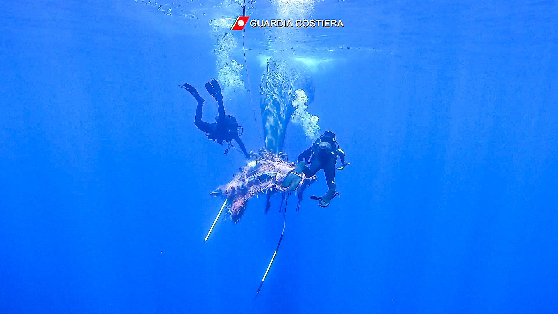 Pottwale im Mittelmeer: Noch ist die Schwanzflosse nicht frei