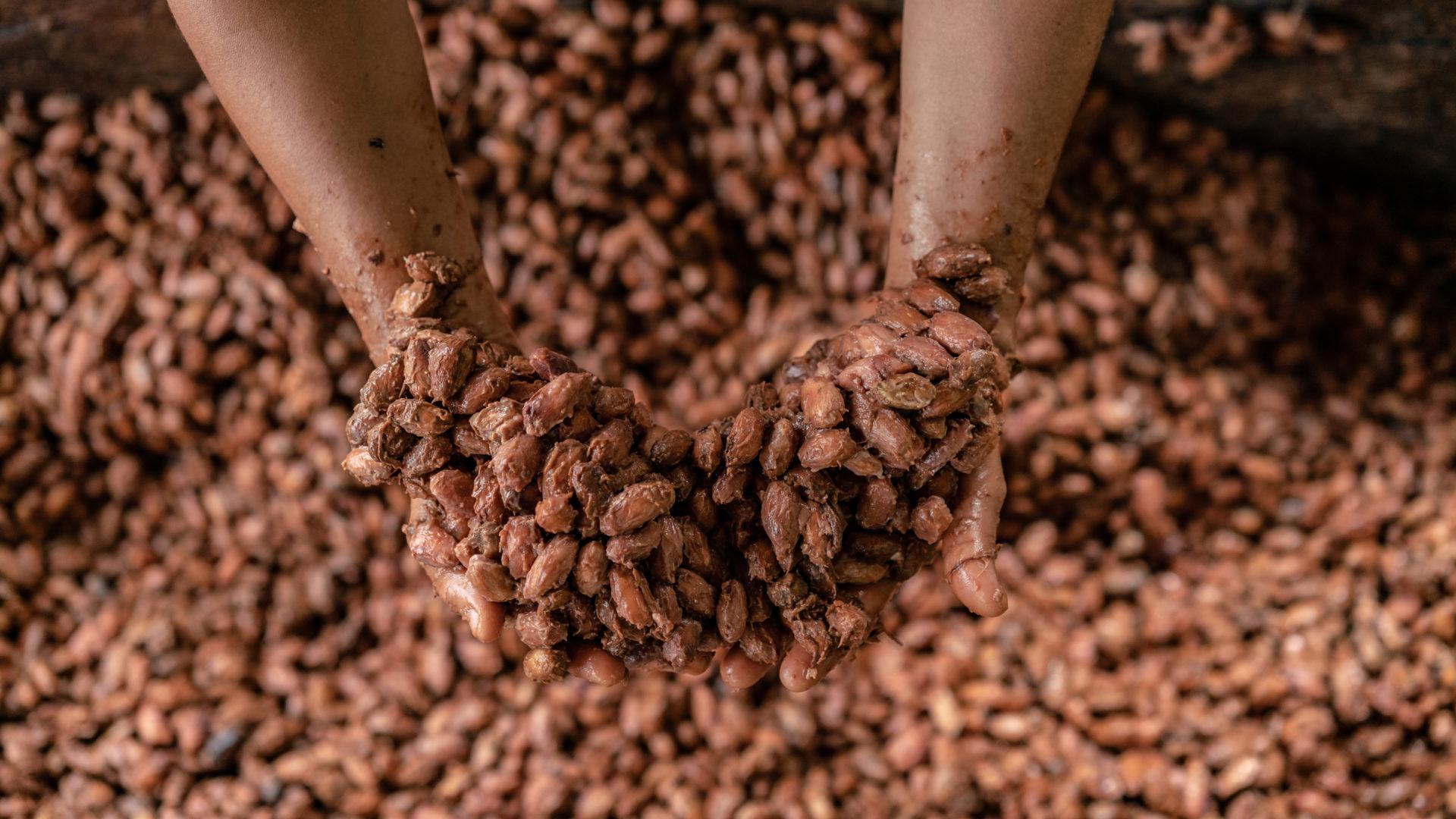 Schokolade und Umwelt: fermentierte Kakaosamen