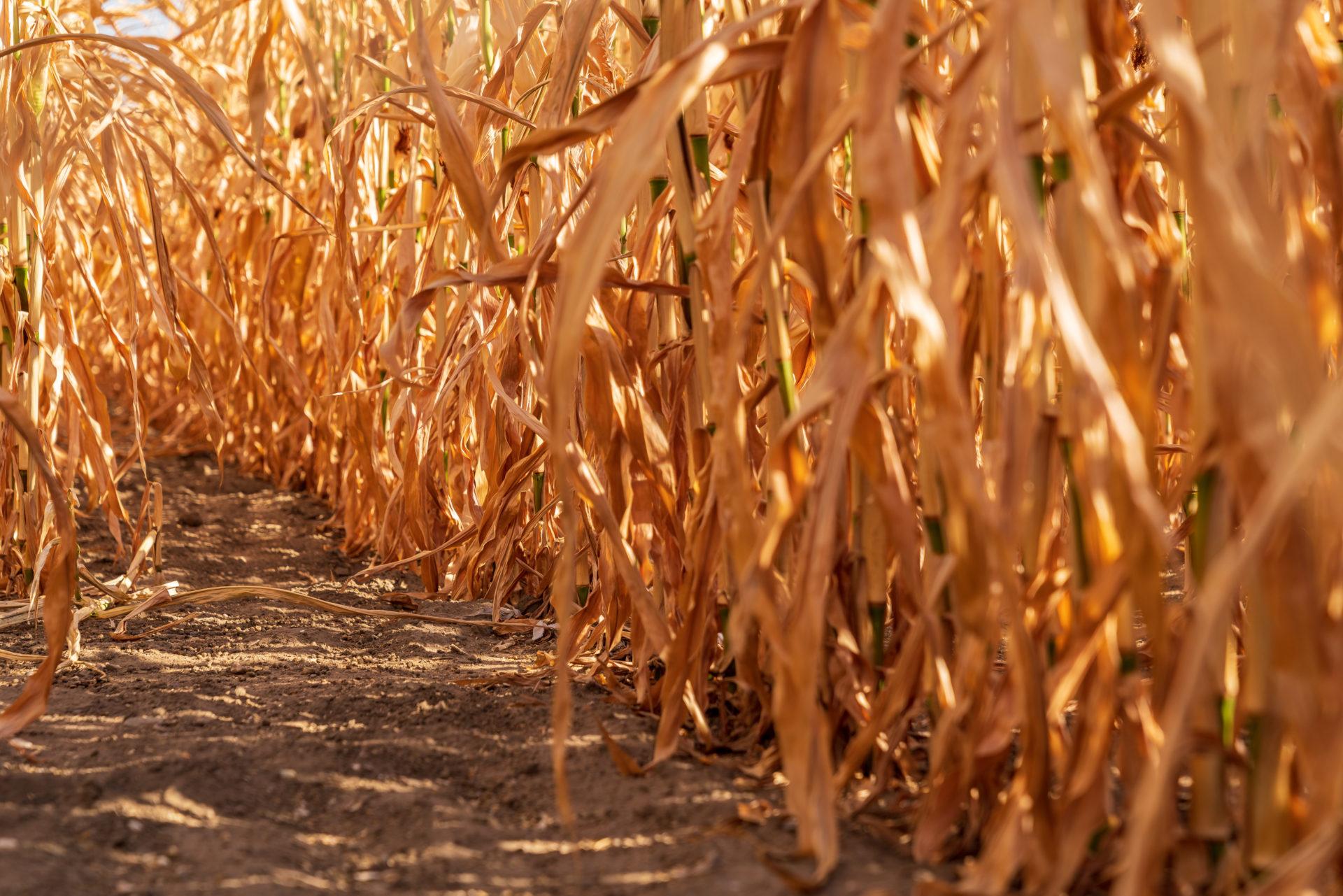 Ein vertrocknetes Maisfeld in Deutschland