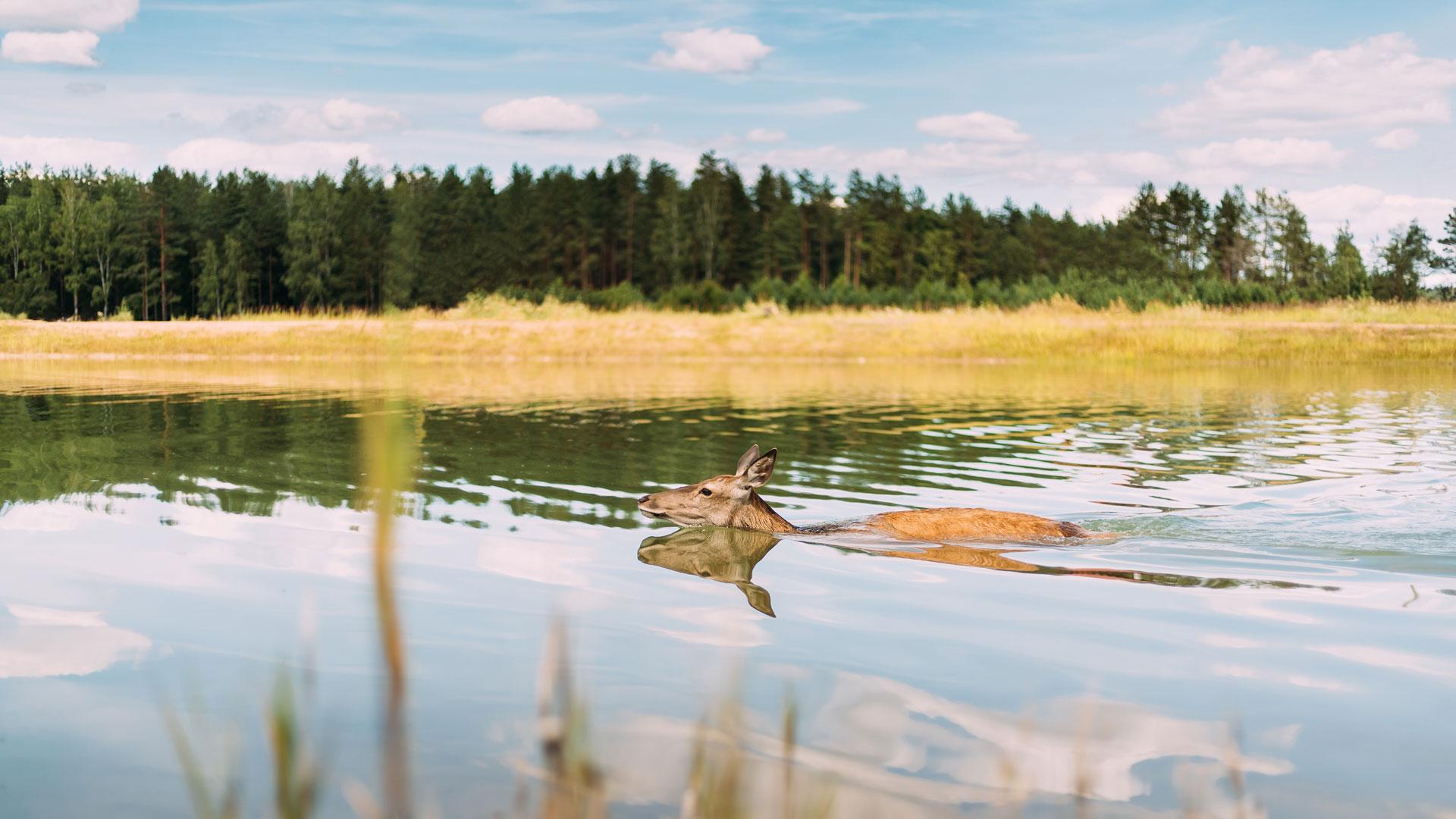 Tiere Hitze: Reh im Fluss