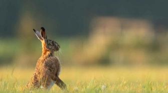 Tiere und Hitze: Hase auf Wiese