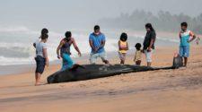 Strandung: Gestrandeter Wal vor Sri Lanka