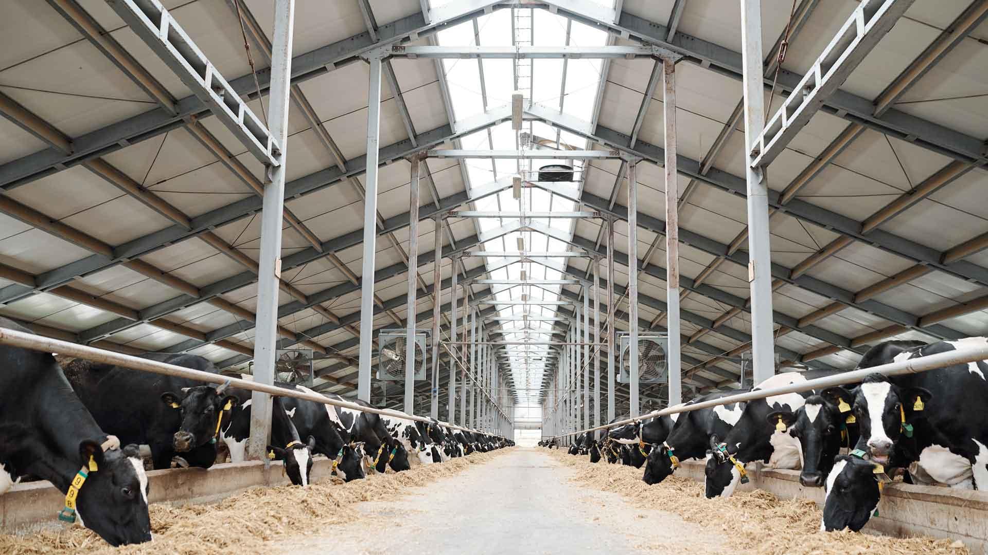 Entwaldung: Kühe im Kuhstall werden gefüttert