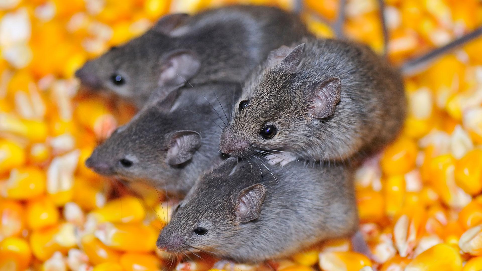 Vier Mäuse: In Deutschland herrscht eine Mäuseplage