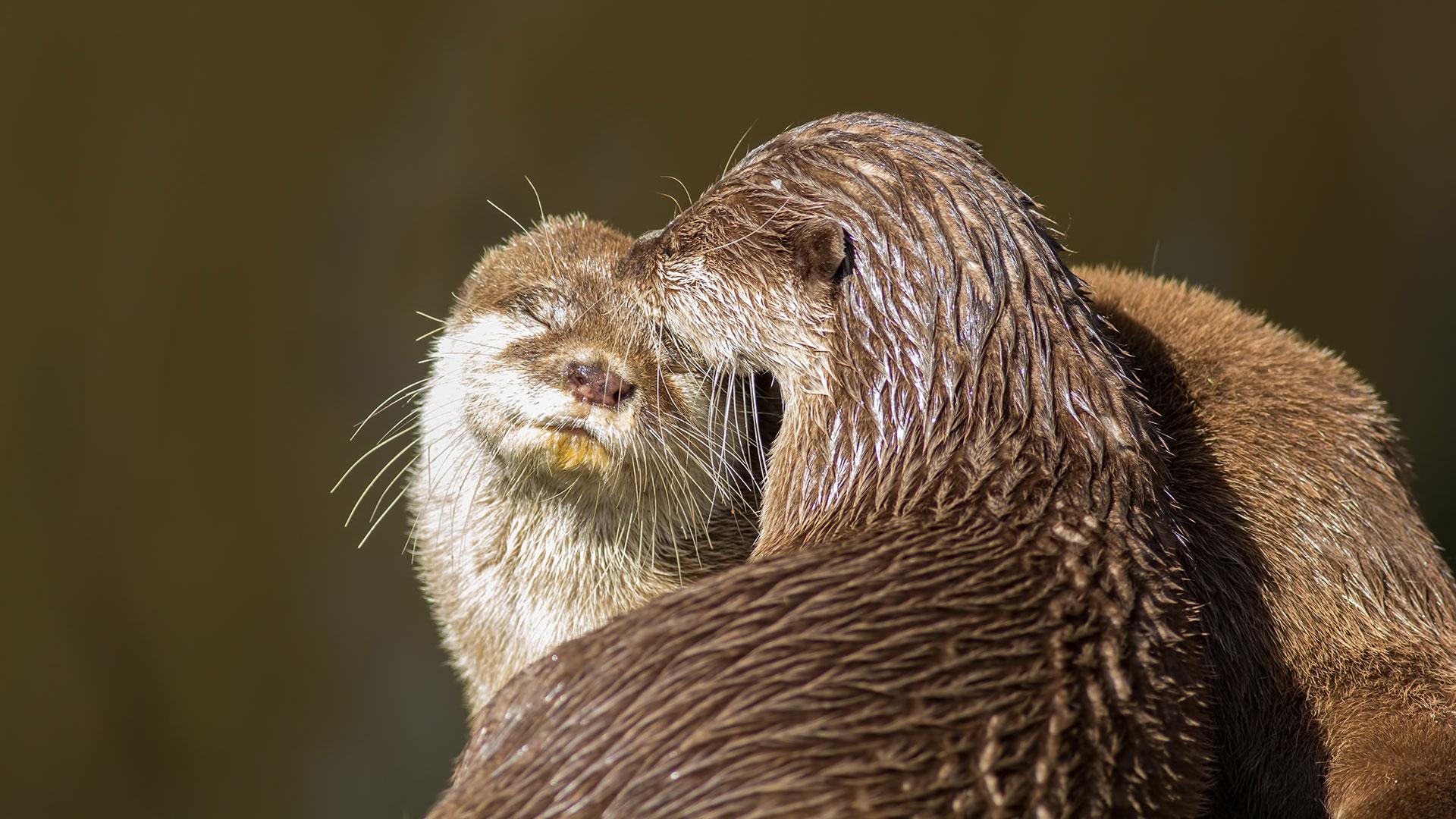 Otter in der Paarungszeit