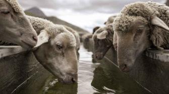 Wie Leben mit dem Wolf? Schafe auf der Weide