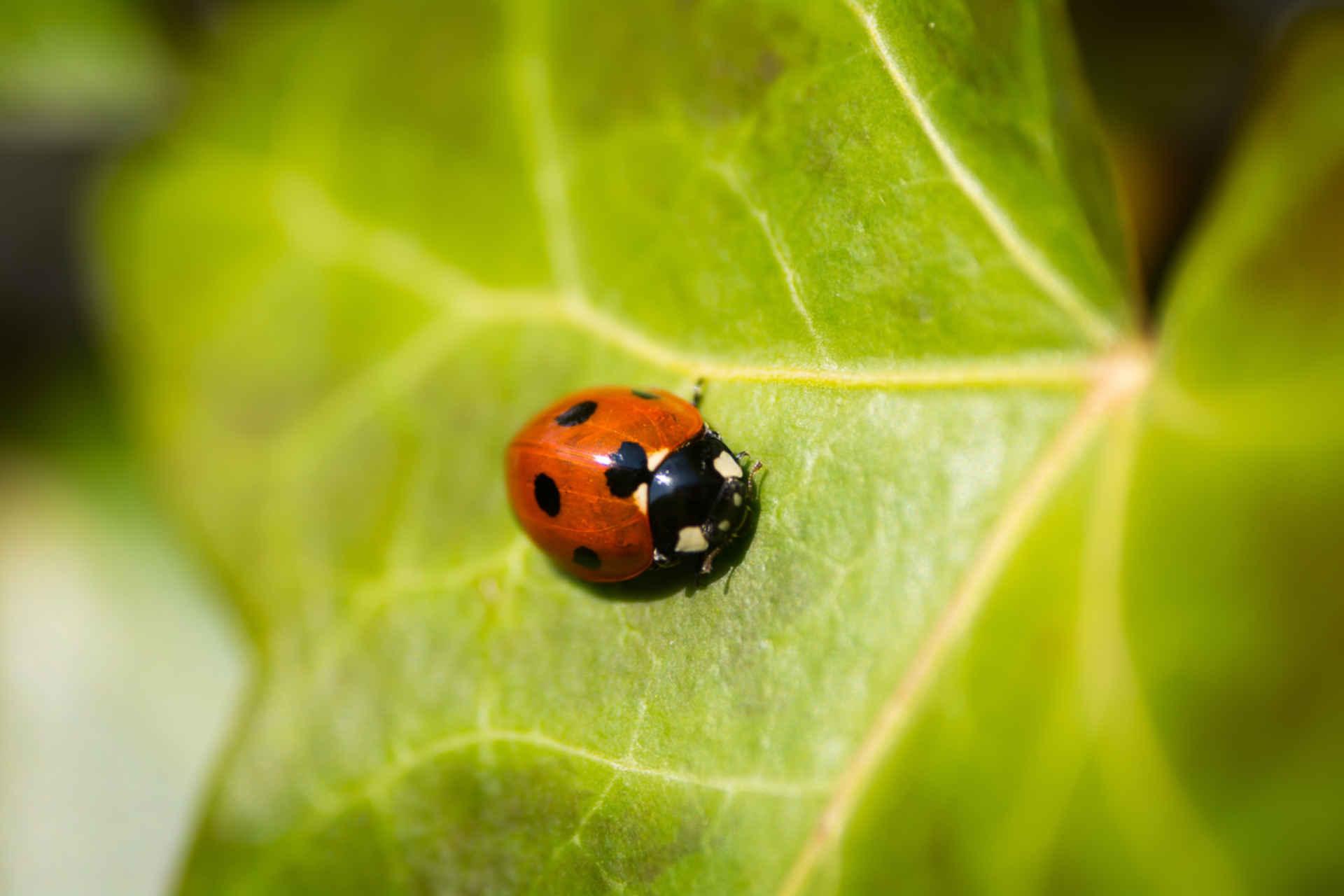 Marienkäfer helfen bei der Schädlinsbekämpfung