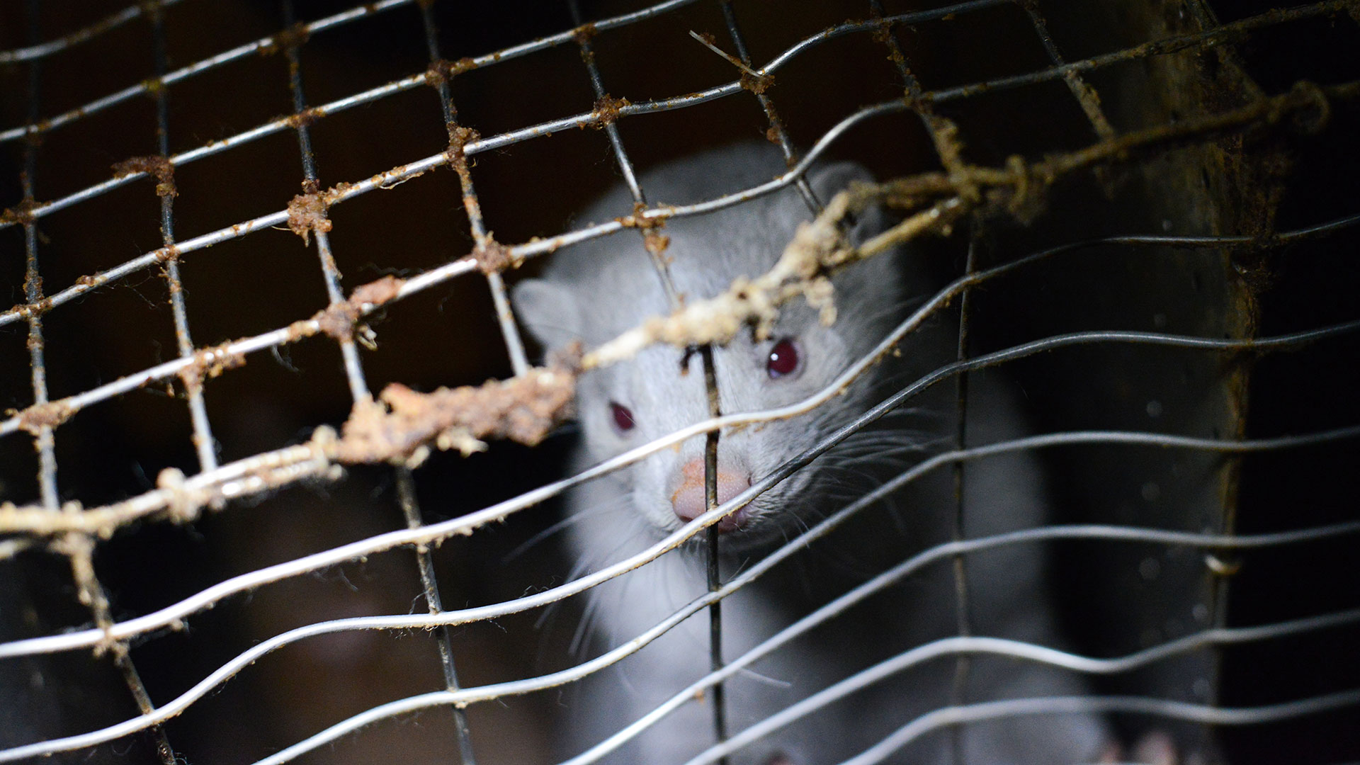Nerz (Mink) im Käfig
